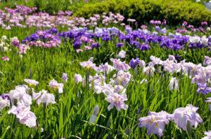 亀山の花菖蒲園
